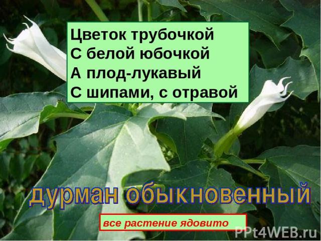 Цветок трубочкой С белой юбочкой А плод-лукавый С шипами, с отравой все растение ядовито