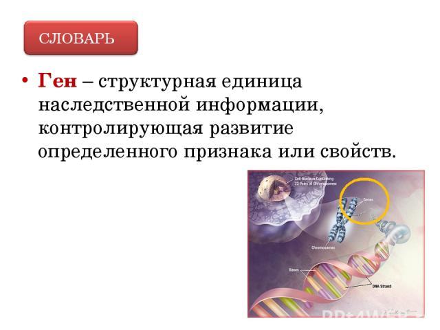 Ген – структурная единица наследственной информации, контролирующая развитие определенного признака или свойств.