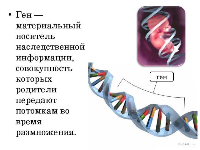 Ген — материальный носитель наследственной информации, совокупность которых родители передают потомкам во время размножения. ген