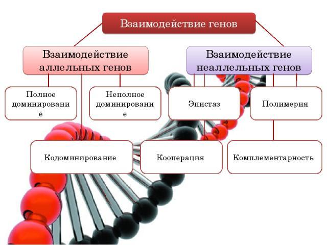 Взаимодействие генов Взаимодействие аллельных генов Взаимодействие неаллельных генов Полное доминирование Неполное доминирование Полимерия Комплементарность Кодоминирование Кооперация Эпистаз
