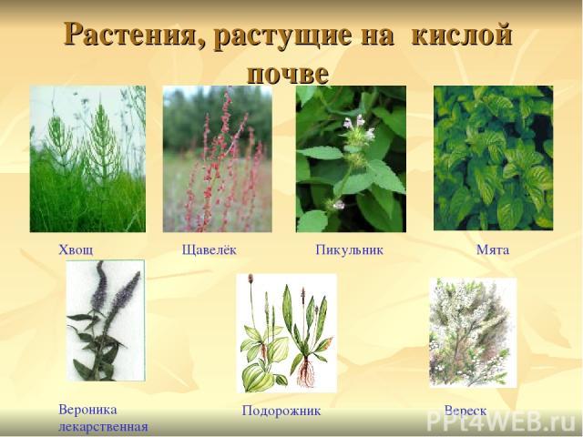 Козероге растения для кислых почв компании: Другие