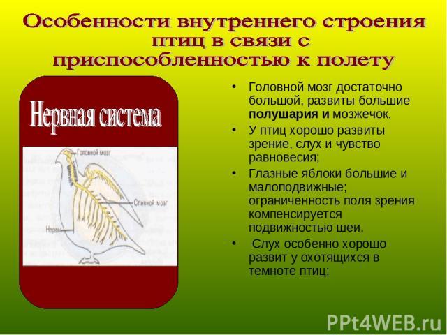 Головной мозг достаточно большой, развиты большие полушария и мозжечок. У птиц хорошо развиты зрение, слух и чувство равновесия; Глазные яблоки большие и малоподвижные; ограниченность поля зрения компенсируется подвижностью шеи. Слух особенно хорошо…