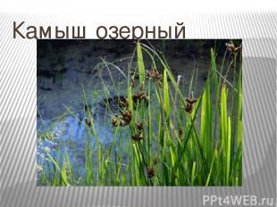 Камыш озерный