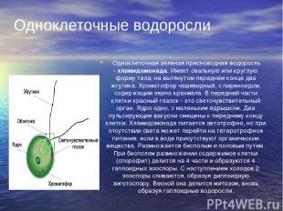 Одноклеточная зеленая пресноводная водоросль -хламидомонада.Имеет овальную ил