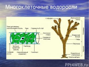 Многоклеточные водоросли