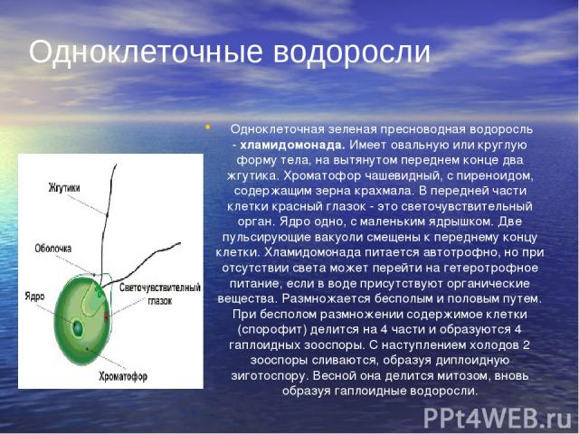 Одноклеточная зеленая пресноводная водоросль -хламидомонада.Имеет овальную или круглую форму тела, на вытянутом переднем конце два жгутика. Хроматофор чашевидный, с пиреноидом, содержащим зерна крахмала. В передней части клетки красный глазок - э…