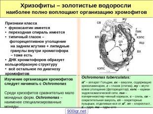 Хризофиты – золотистые водоросли наиболее полно воплощают организацию хромофитов