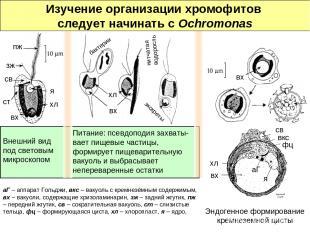 Внешний вид под световым микроскопом Питание: псевдоподия захваты-вает пищевые ч