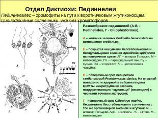 Отдел Диктиохи: Пединнелеи Пединнелалес – хромофиты на пути к воротничковым жгут