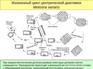 Жизненный цикл центрической диатомеи Melosira varians При каждом митотическом де