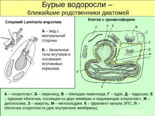 Бурые водоросли – ближайшие родственники диатомей Спермий Laminaria angustata Кл