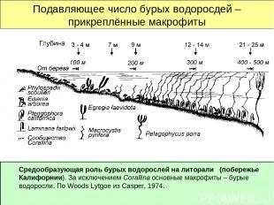 Подавляющее число бурых водоросдей – прикреплённые макрофиты Средообразующая рол