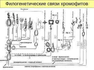 Филогенетические связи хромофитов ПС С ПС С ПС С замена хлорофилла с виолоксанти