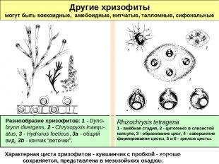 Другие хризофиты могут быть коккоидные, амебоидные, нитчатые, талломные, сифонал
