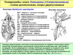 Псевдогрибы: класс Оомицеты (=Сапролегниевые) - стенка целлюлозная, споры двужгу