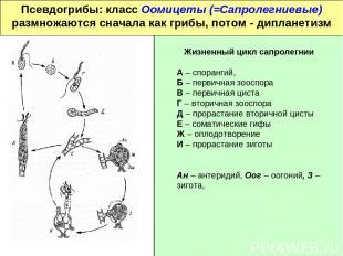 Псевдогрибы: класс Оомицеты (=Сапролегниевые) размножаются сначала как грибы, по