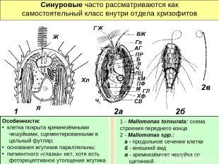 Синуровые часто рассматриваются как самостоятельный класс внутри отдела хризофит