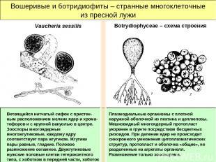 Вошеривые и ботридиофиты – странные многоклеточные из пресной лужи Плазмодиальны