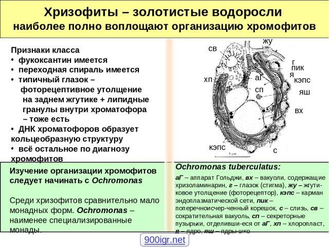 Хризофиты – золотистые водоросли наиболее полно воплощают организацию хромофитов Изучение организации хромофитов следует начинать с Ochromonas Среди хризофитов сравнительно мало монадных форм. Ochromonas – наименее специализированные монады. Признак…