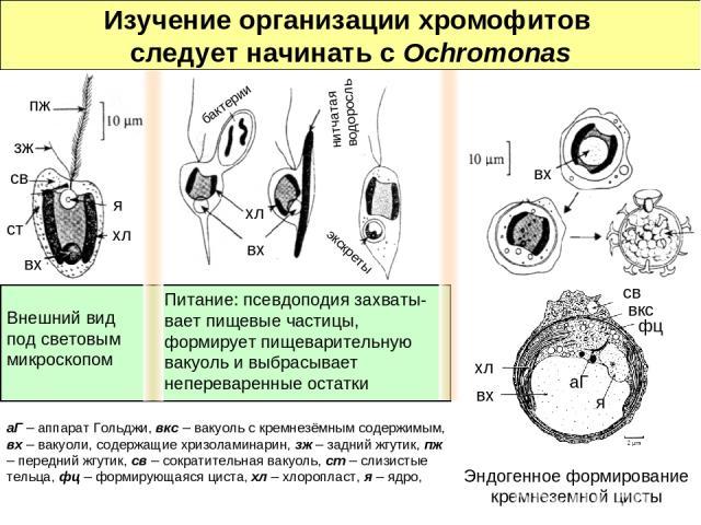 Внешний вид под световым микроскопом Питание: псевдоподия захваты-вает пищевые частицы, формирует пищеварительную вакуоль и выбрасывает непереваренные остатки Изучение организации хромофитов следует начинать с Ochromonas вх хл бактерии нитчатая водо…
