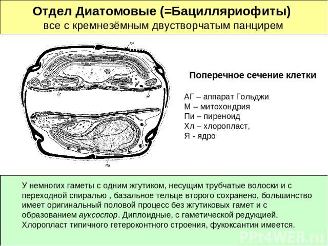 Отдел Диатомовые (=Бацилляриофиты) все с кремнезёмным двустворчатым панцирем Поперечное сечение клетки АГ – аппарат Гольджи М – митохондрия Пи – пиреноид Хл – хлоропласт, Я - ядро У немногих гаметы с одним жгутиком, несущим трубчатые волоски и с пер…