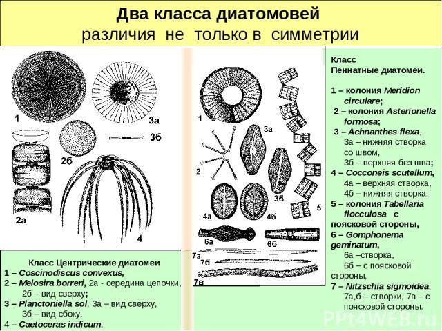 Два класса диатомовей различия не только в симметрии Класс Центрические диатомеи 1 – Coscinodiscus convexus, 2 – Melosira borreri, 2а - середина цепочки, 2б – вид сверху; 3 – Planctoniella sol, 3а – вид сверху, 3б – вид сбоку. 4 – Caetoceras indicum…