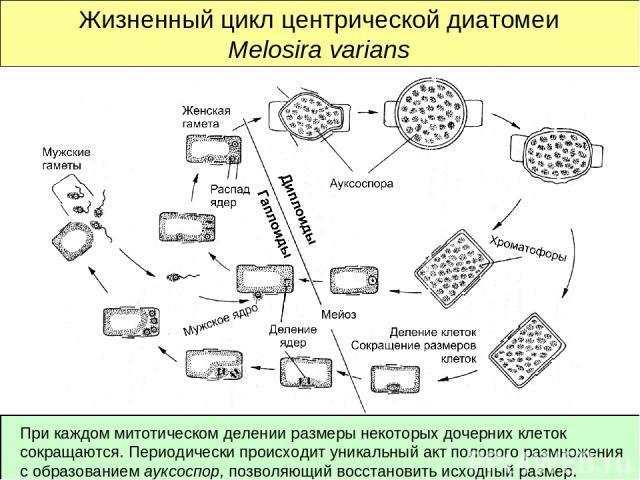 Жизненный цикл центрической диатомеи Melosira varians При каждом митотическом делении размеры некоторых дочерних клеток сокращаются. Периодически происходит уникальный акт полового размножения с образованием ауксоспор, позволяющий восстановить исход…