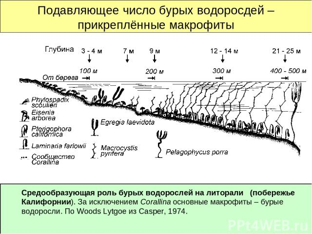 Подавляющее число бурых водоросдей – прикреплённые макрофиты Средообразующая роль бурых водорослей на литорали (побережье Калифорнии). За исключением Corallina основные макрофиты – бурые водоросли. По Woods Lytgoe из Casper, 1974.