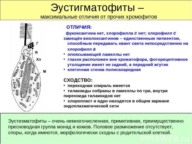 Эустигматофиты – максимальные отличия от прочих хромофитов ОТЛИЧИЯ: фукоксантина нет, хлорофилла с нет; хлорофилл с замещён виолоксантином – единственным пигментом, способным передавать квант света непосредственно на хлорофилл а опоясывающей ламеллы…