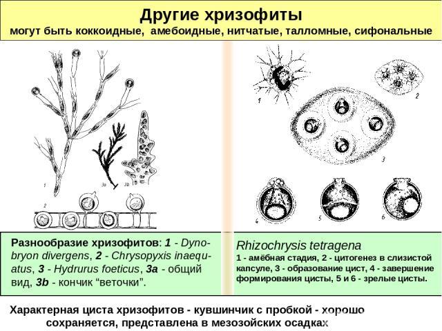 Другие хризофиты могут быть коккоидные, амебоидные, нитчатые, талломные, сифональные Характерная циста хризофитов - кувшинчик с пробкой - хорошо сохраняется, представлена в мезозойских осадках Rhizochrysis tetragena 1 - амёбная стадия, 2 - цитогенез…
