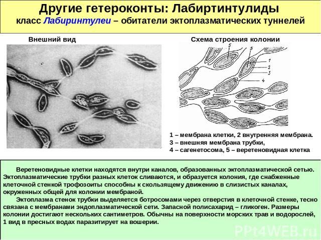 Другие гетероконты: Лабиртинтулиды класс Лабиринтулеи – обитатели эктоплазматических туннелей Веретеновидные клетки находятся внутри каналов, образованных эктоплазматической сетью. Эктоплазматические трубки разных клеток сливаются, и образуется коло…