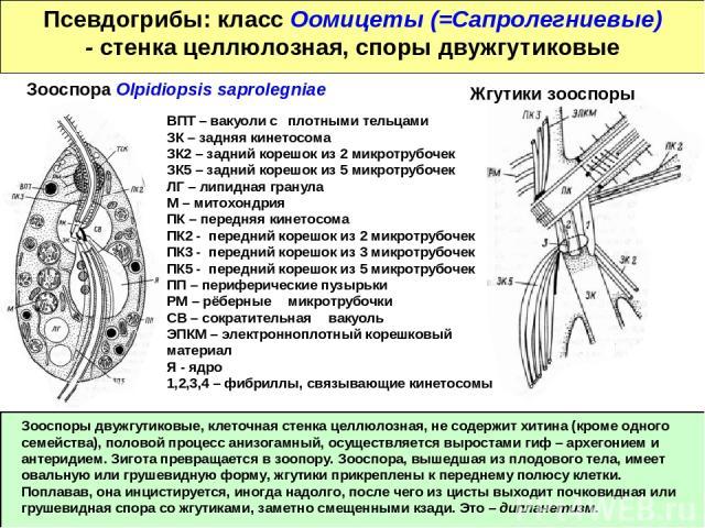Псевдогрибы: класс Оомицеты (=Сапролегниевые) - стенка целлюлозная, споры двужгутиковые Зооспоры двужгутиковые, клеточная стенка целлюлозная, не содержит хитина (кроме одного семейства), половой процесс анизогамный, осуществляется выростами гиф – ар…