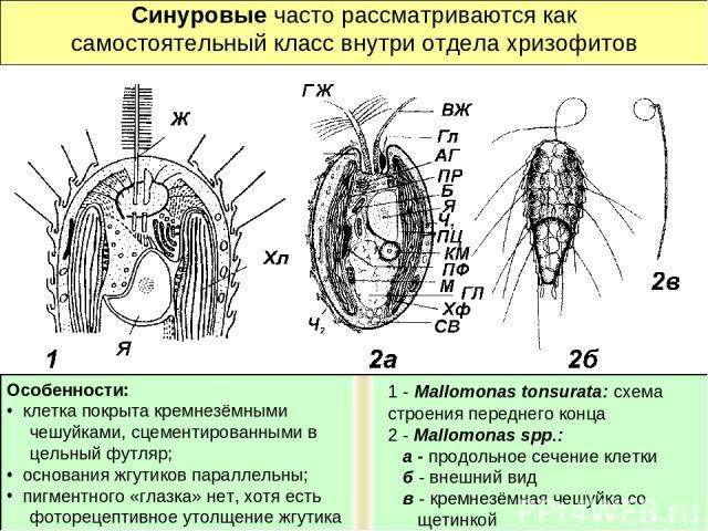 Синуровые часто рассматриваются как самостоятельный класс внутри отдела хризофитов Особенности: клетка покрыта кремнезёмными чешуйками, сцементированными в цельный футляр; основания жгутиков параллельны; пигментного «глазка» нет, хотя есть фоторецеп…