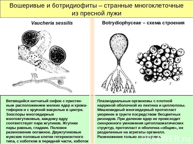 Вошеривые и ботридиофиты – странные многоклеточные из пресной лужи Плазмодиальные организмы с плотной наружной оболочкой из пектина и целлюлозы. Мешковидный многоядерный протопласт укоренен в грунте посредством бесцветных ризоидов. При делении ядер …