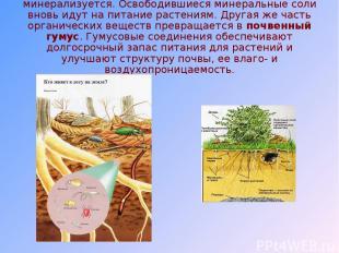 В результате часть растительного опада минерализуется. Освободившиеся минеральны