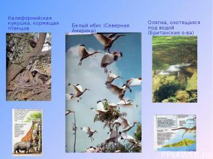 Калифорнийская кукушка, кормящая птенцов Белый ибис (Северная Америка) Оляпка, о