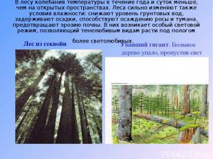 В лесу колебания температуры в течение года и суток меньше, чем на открытых прос