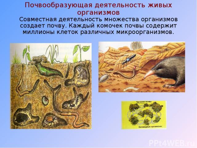 Почвообразующая деятельность живых организмов Совместная деятельность множества организмов создает почву. Каждый комочек почвы содержит миллионы клеток различных микроорганизмов.
