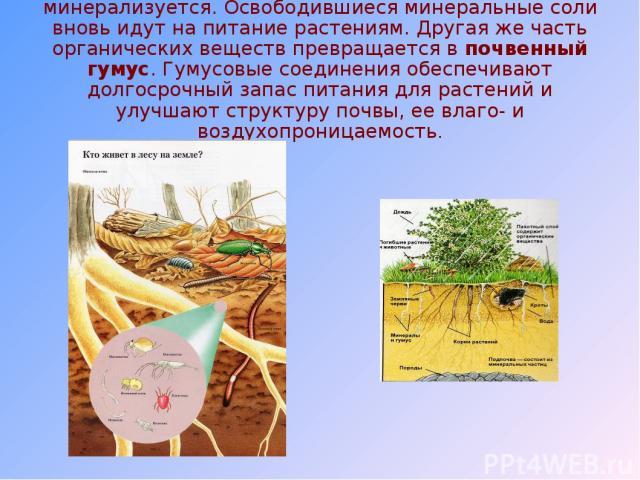 В результате часть растительного опада минерализуется. Освободившиеся минеральные соли вновь идут на питание растениям. Другая же часть органических веществ превращается в почвенный гумус. Гумусовые соединения обеспечивают долгосрочный запас питания…