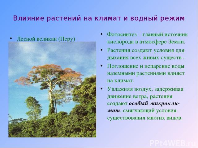 Влияние растений на климат и водный режим Лесной великан (Перу) Фотосинтез – главный источник кислорода в атмосфере Земли. Растения создают условия для дыхания всех живых существ . Поглощение и испарение воды наземными растениями влияет на климат. У…