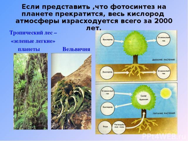 Если представить ,что фотосинтез на планете прекратится, весь кислород атмосферы израсходуется всего за 2000 лет. Тропический лес – «зеленые легкие» планеты Вельвичия