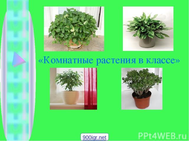 «Комнатные растения в классе» 900igr.net