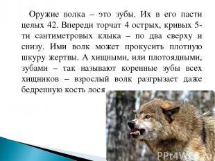Оружие волка – это зубы. Их в его пасти целых 42. Впереди торчат 4 острых, кривы