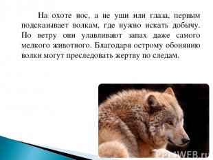 На охоте нос, а не уши или глаза, первым подсказывает волкам, где нужно искать д