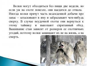 Волки могут обходиться без пищи две недели, но если уж на охоте повезло, они нае