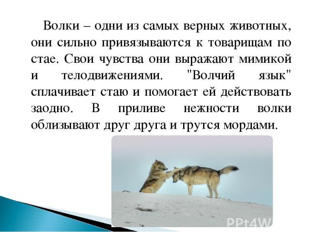 Волки – одни из самых верных животных, они сильно привязываются к товарищам по стае. Свои чувства они выражают мимикой и телодвижениями.