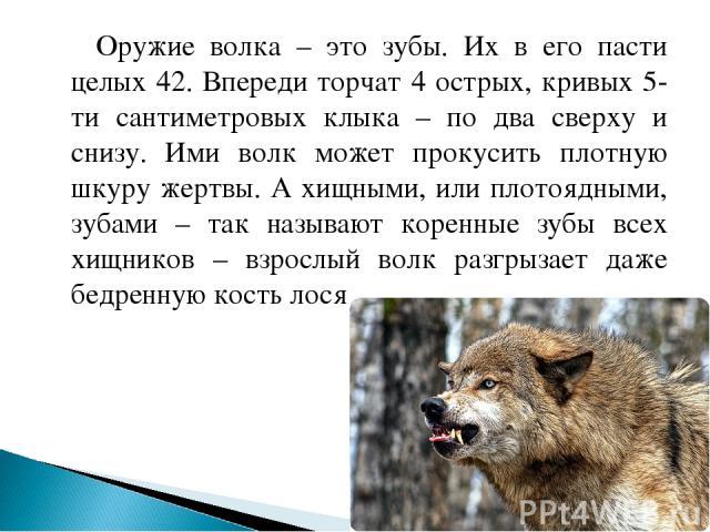 Оружие волка – это зубы. Их в его пасти целых 42. Впереди торчат 4 острых, кривых 5-ти сантиметровых клыка – по два сверху и снизу. Ими волк может прокусить плотную шкуру жертвы. А хищными, или плотоядными, зубами – так называют коренные зубы всех х…
