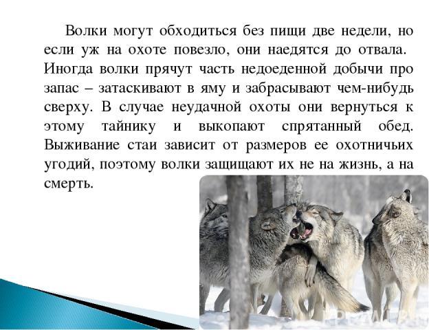 Волки могут обходиться без пищи две недели, но если уж на охоте повезло, они наедятся до отвала. Иногда волки прячут часть недоеденной добычи про запас – затаскивают в яму и забрасывают чем-нибудь сверху. В случае неудачной охоты они вернуться к это…