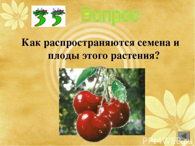 Как распространяются семена и плоды этого растения?