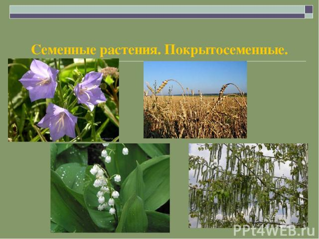 Семенные растения. Покрытосеменные.